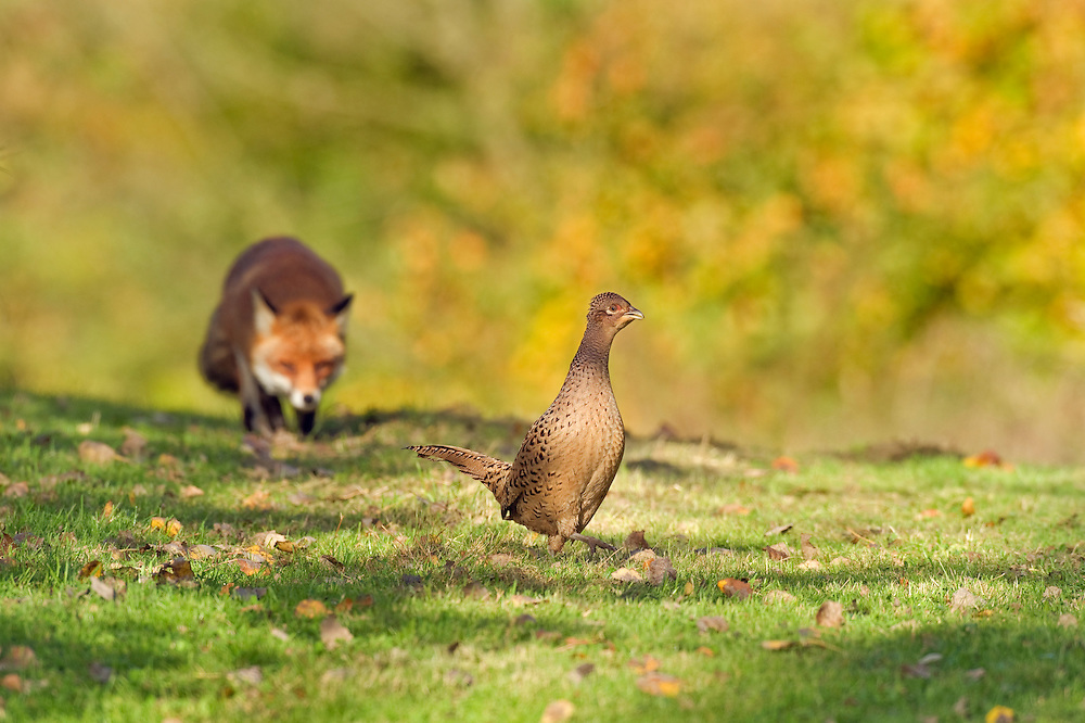 Red fox (Vulpes vulpes), and hen pheasants, Kent, UK