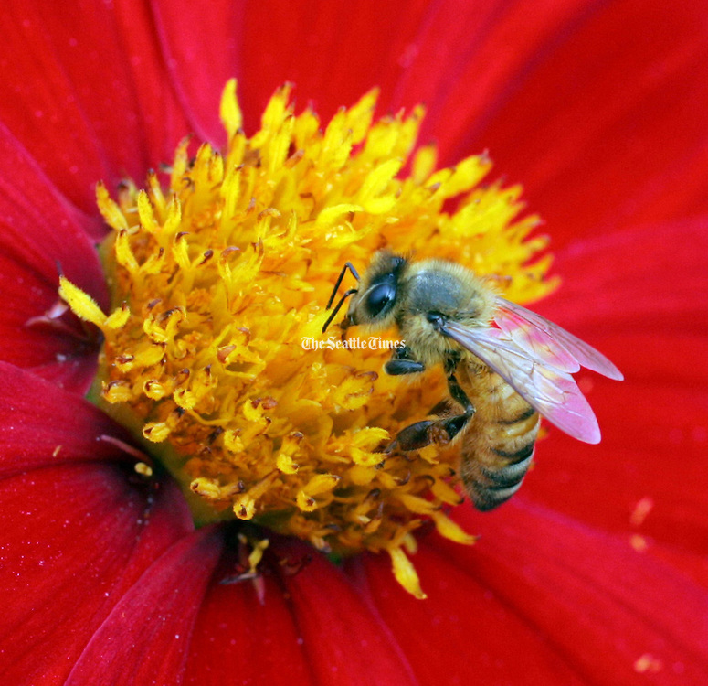 A  honey bee stops at a flower in the Bellevue Botanical Gardens.  <br /> <br /> Greg Gilbert / The Seattle Times