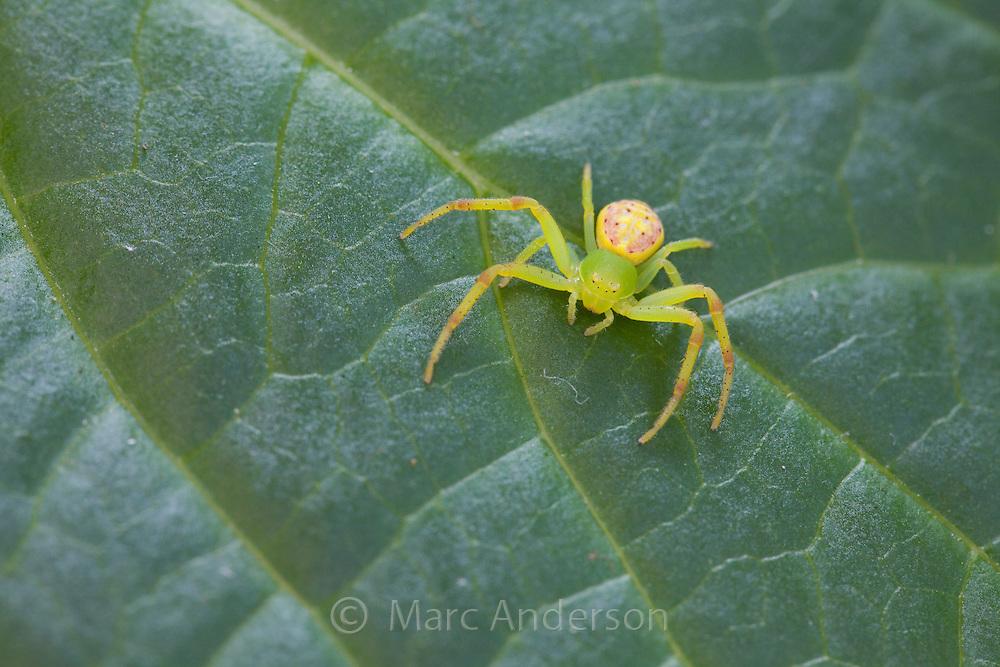Green Flower Spider, or crab spider, Diaea evanida, Sydney, Australia