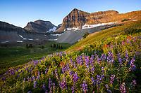 Wildflowers cover the cirque below the peak of Mt. Timpanogos in Utah Valley.