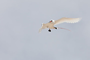 Red-tailed Tropic bird changing direction
