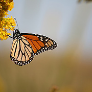 Monarch butterfly sipping nectar from goldenrod.