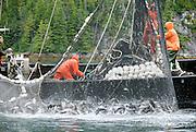 Commercial fishing boat brings ain a net full of slamon near Sitka, Alaska.