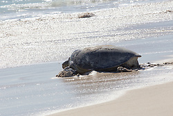 A Green turtle (Chelonia mydas) makes her way down the beach on the Lacepede Islands after laying eggs in August 2013.