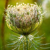 Botanicals: Wildflowers