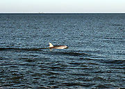 A bottle nose dolphin in the surf off a Jekyll Island beach, hunting fish