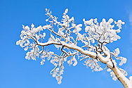 A Quaking Aspen (Populus tremuloides) covered with snow contrasts with a deep blue winter sky in Eagle River in Southcentral Alaska. Afternoon.