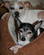 Toy Fox Terriers and Friends
