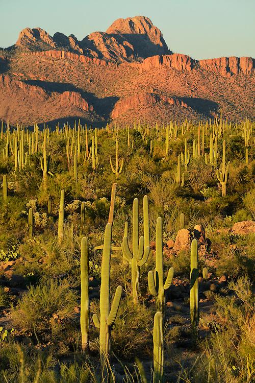 USA,Arizona,Tucson, Saguaro National Park, last light on desert at signal hill,