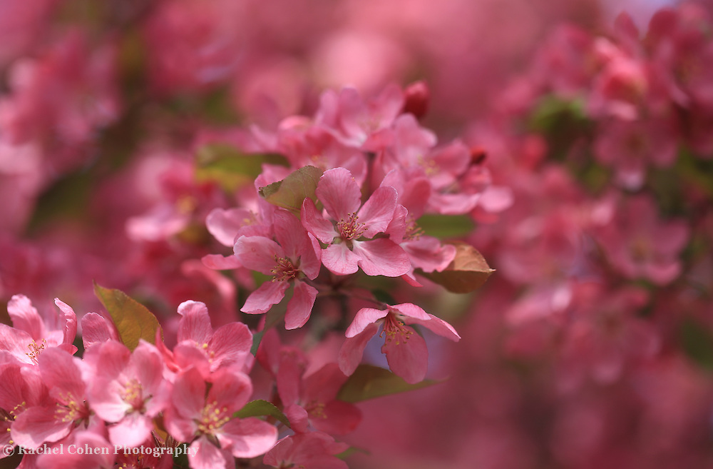&quot;Spring Pinks&quot; <br />