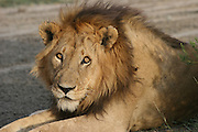 Africa, Tanzania, Serengeti National Park, Lion Panthera leo close up