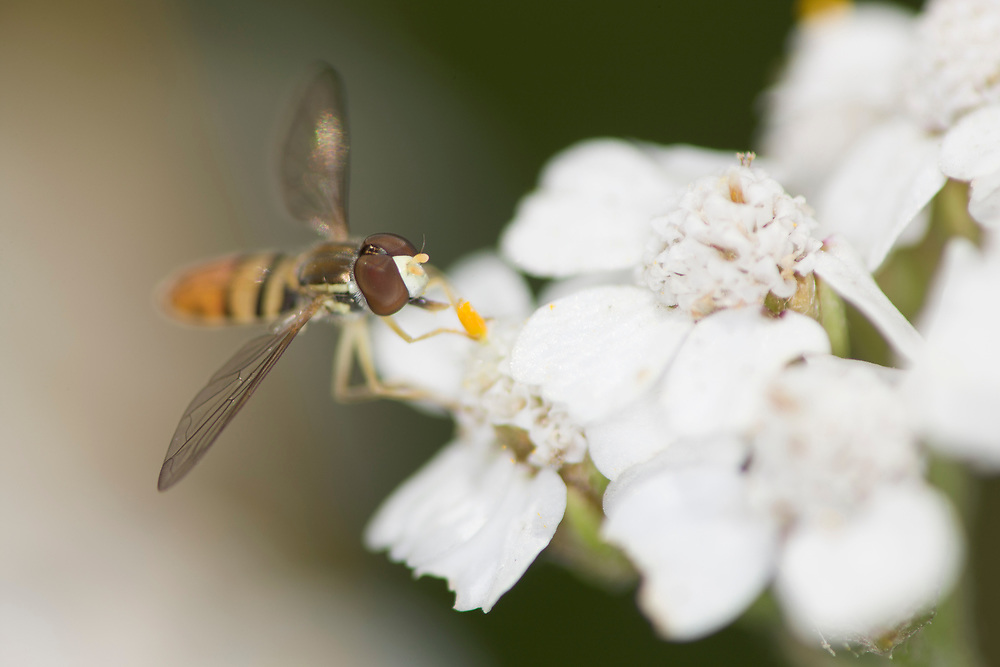 Flower Fly or Hover Fly (Metasyrphus americanus), on Wooly Yarrow (Achillea lanulosa) flowers.