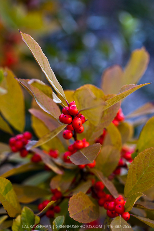 Harvest Red Winterberry, the native deciduous holly with it's bright red berries and autumn color on the leaves.  (Ilex verticilata 'Harvest Red')