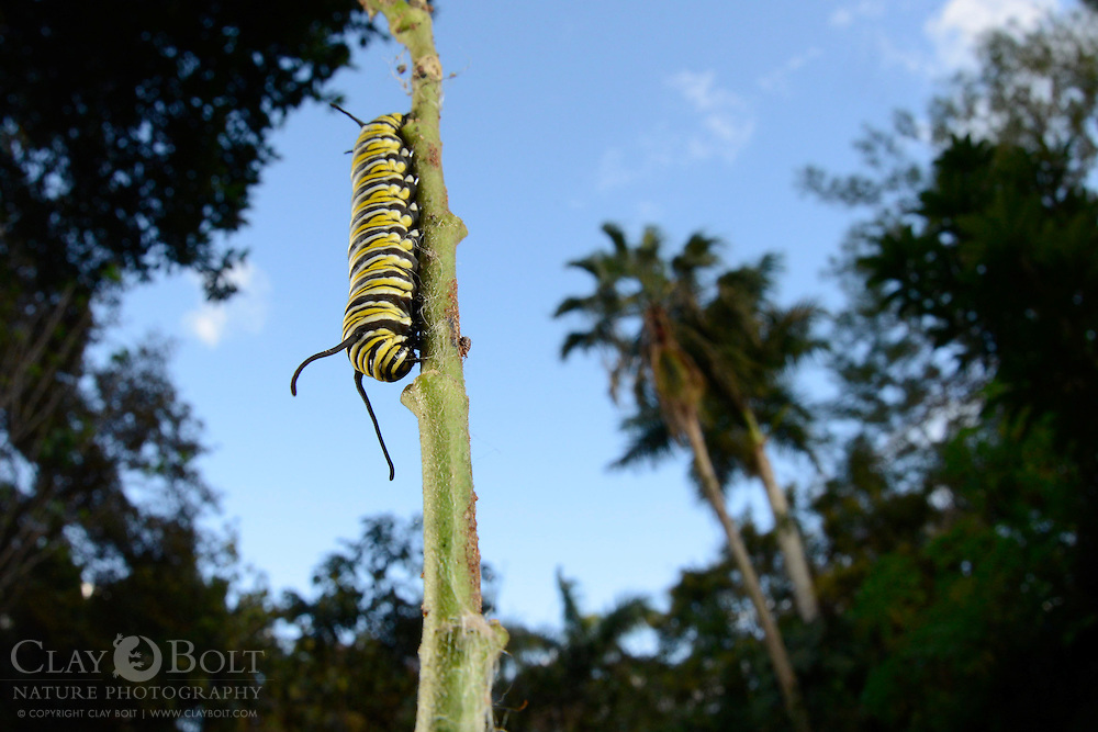 Monarch butterfly caterpillar (Danaus plexippus), Miami, Florida, USA