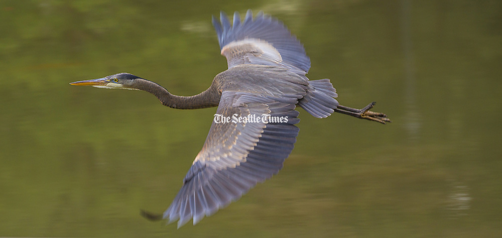 A great blue heron takes flight from a pond at the Washington Park Arboretum on Wednesday. <br /> <br /> The herons are often seen flying high with slow wing beats. The official city bird of Seattle, they grace fresh and saltwater habitat alike.<br /> <br /> Mike Siegel/The Seattle Times