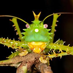 Spike-headed Katydid at the biological station Jatun Sacha near Tena