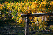 SHOT 10/2/14 8:32:41 AM - A ranch entryway and changing aspen leaves along the Dallas Divide near Ridgway, Co. Aspens are trees of the willow family and comprise a section of the poplar genus, Populus sect. Populus. The Quaking Aspen of North America is known for its leaves turning spectacular tints of red and yellow in the autumn of the year (and usually in the early autumn at the altitudes where it lives). This causes forests of aspen trees to be noted tourist attractions for viewing them in the fall. These aspens are found as far south as the San Bernardino Mountains of Southern California, though they are most famous for growing in Colorado. Autumn leaf color is a phenomenon that affects the normally green leaves of many deciduous trees and shrubs by which they take on, during a few weeks in the autumn months, one or many colors that range from red to yellow. The phenomenon is commonly called fall colors and autumn colors, while the expression fall foliage usually connotes the viewing of a tree or forest whose leaves have undergone the change. In some areas in the United States &quot;leaf peeping&quot; tourism between the beginning of color changes and the onset of leaf fall, or scheduled in hope of coinciding with that period, is a major contribution to economic activity.<br /> (Photo by Marc Piscotty / &copy; 2014)
