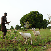 Francis Gang-Man tethering sheep where they can forage early in the day in the village of Lyssah in the Upper West region of Ghana.