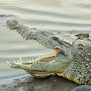 American Crocodile <br /> Crocodylus acutus <br /> San Blas, Nayarit, Mexico<br /> 7 June     Adult with mouth open.      Crocodylidae