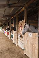 Race horses in stalls, Miles City Montana