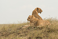 These young lions aren't [particularly hungry, having just finished a large meal - but they remain watchful just in case their next meal happens by.<br /> LIMITED EDITION PRINT