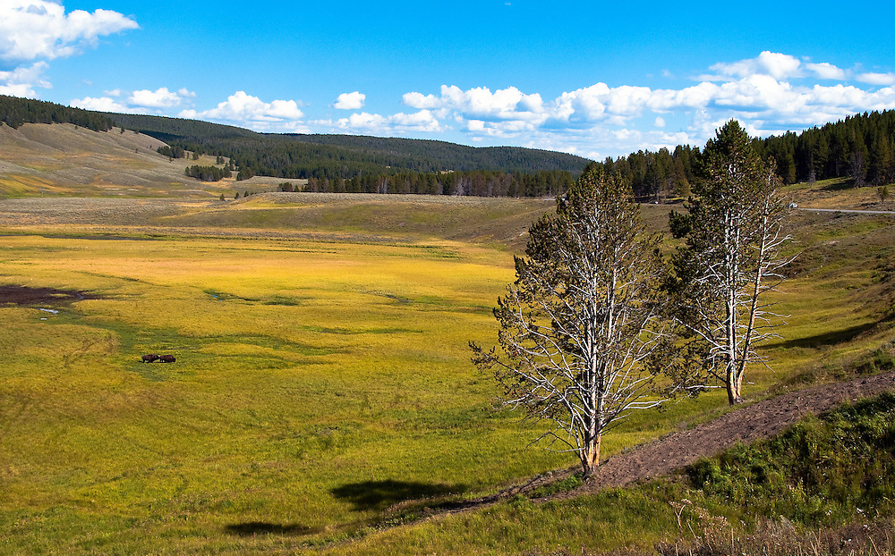 Two bison roam in one of Yellowstone's meadows.  Hayden Valley, Yellowstone National Park. Wyoming.