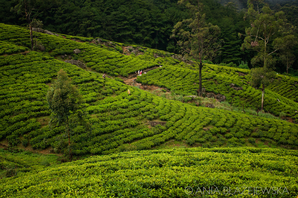 Sri Lanka. Tea plantations nearby Nuwara Eliya.