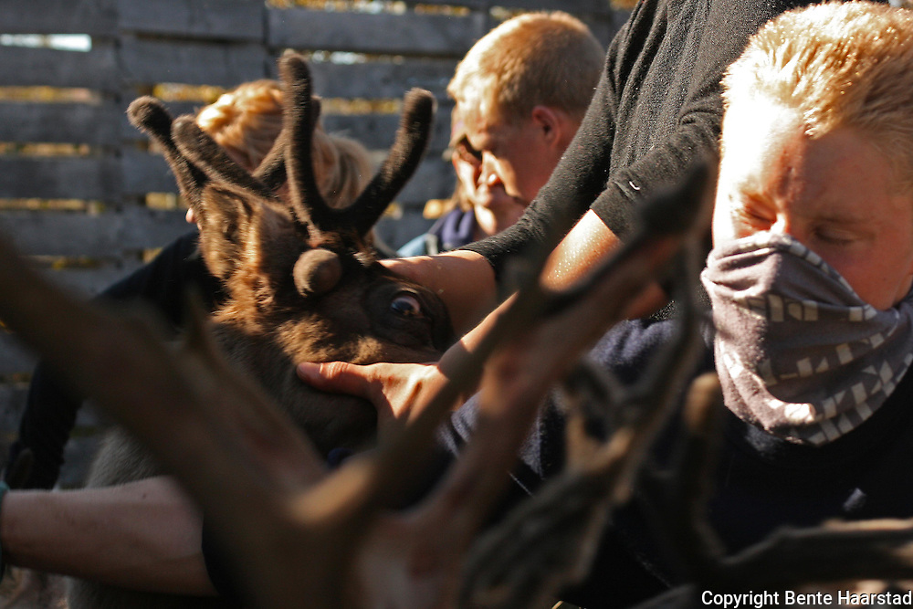 Slaughtering season, Gåbrien Sijte, Brekken in Mid-Norway. It is hard and dusty work to separate the animals.
