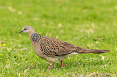 Spotted Dove Pictures - Photos