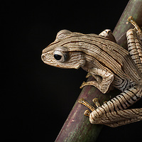 A young Borneo Eared Frog, Polypedates otilophus, with unusual markings in the rainforests of the Borneo Highlands in Sarawak