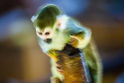 Monkey at Edinburgh Zoo..©Michael Schofield.