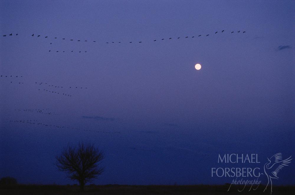 Sandhill cranes fly into roost. Platte River Valley, Nebraska.