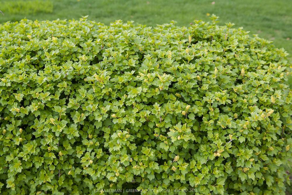 Alpine currant hedge (Ribes alpinum).