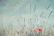 Poppies and dry weeds on a summer day - vintage texture processing<br /> Prints &amp; more: https://society6.com/product/dry-season-ype_print#s6-4518842p4a1v45<br /> <br /> Redbubble prints:http://www.redbubble.com/people/dyrkwyst/works/21905397-dry-season?asc=u