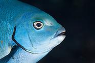 Girella cyanea (Bluefish)