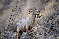 A desert bighorn sheep (Ovis canadensis nelsoni) dines on ocotillos.