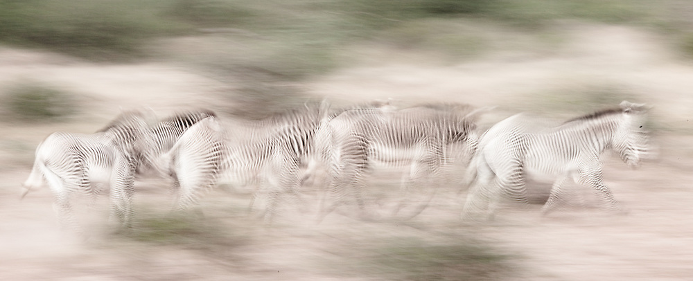 Grevy's zebra running in Samburu, Kenya