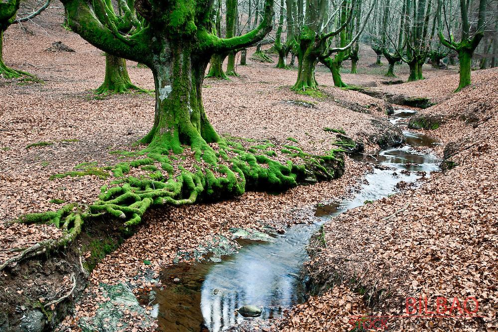 Otzarreta beechwood forest. .Gorbea Natural Park. Biscay, Basque Country, Spain