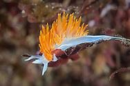 Hermissenda crassicornis, Santa Rosa Island, CA