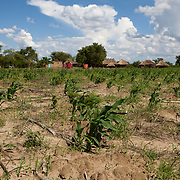 14 December 2010, Mazabuka District, Zambia. Mbiya Camp, Harry Kandundu's Farm. Harry was a lead farmer under the FAO Conservation Agriculture scheme in 2009/10 and brought in a bumper maize crop. This year he expanded the fields under CA, with still a few issues - such as the correct application of herbicides, but he is using a mixed method of basin making and ripping with a Magoye ripper. Seeds are sown not along furrows,.but in small basins or simple pits. These basins can.be dug with hand hoes without having to plow the.field which is important given that the majority of.smallholder farmers in southern Africa struggle to.cultivate their fields in a timely manner due to a lack.of draft animals. The initial basin tillage concept.was developed by Oldrieve in Zimbabwe in the late.1980s. It was subsequently modified and promoted in.Zambia by the Zambian Farmers Union Conservation.Farming Unit and also modified by the Zimbabwean.Conservation Agriculture Task Force convened by FAO.for southern Zimbabwe. Available.soil fertility amendments (organic and/or inorganic.fertilizers) are then added to each basin which is then.lightly covered with soil in September/October. Rain.water is collected in the basins during the early season.rainfall events (October and November). Planting.follows in November/December after the basins have captured rain water at least once. Although making the basins requires time and effort,.once prepared, the same planting position can be used.repeatedly. With each successive season preparing the.basins and weeding should become easier. SOURCE:Steve Twomlow and Lewis Hove, ICRISAT