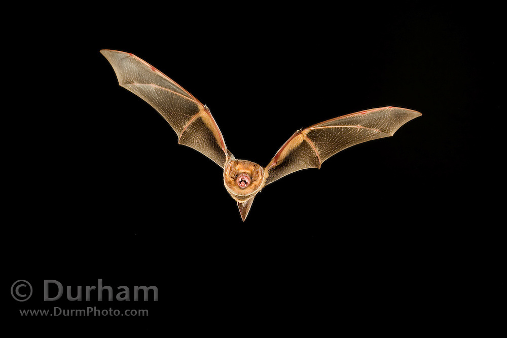 A Seminole Bat (Lasiurus seminolus) in Stephen F. Austin Experimental Forest, Texas. The Seminole Bat is closely associated with mixed deciduous forests where Spanish moss is prevalent, though little is known about this bat's life history.
