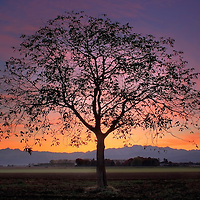 A lonely tree stands in the fields of the countryside near to Scalenghe in Piedmont, Italy, with the majestic peaks of the Western Alps in the background. Taken a few minutes after sunset on a evening at the end of October.