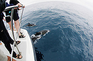dolphin watching - short-beaked common dolphins, Delphinus delphis, Azores Islands, Portugal, North Atlantic Ocean&amp;#xA;&copy; KIKE CALVO /<br />