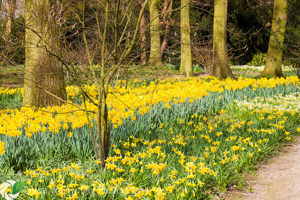 A spectacular display of daffodils at the National Trust's Dunham Massey, Cheshire, photographed in March