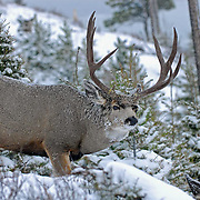 trophy typical mule deer buck, in snow storm, snowing and checking doe