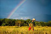 The main rice harvest in rural Nakhon Nayok, Thailand begins as a rainbow appears. Rice prices are at a 13 month low, creating hardships for Thailand's rice farmers. PHOTO BY LEE CRAKER