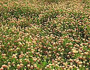 Glenallen clover fields in bloom along the Richardson Highway