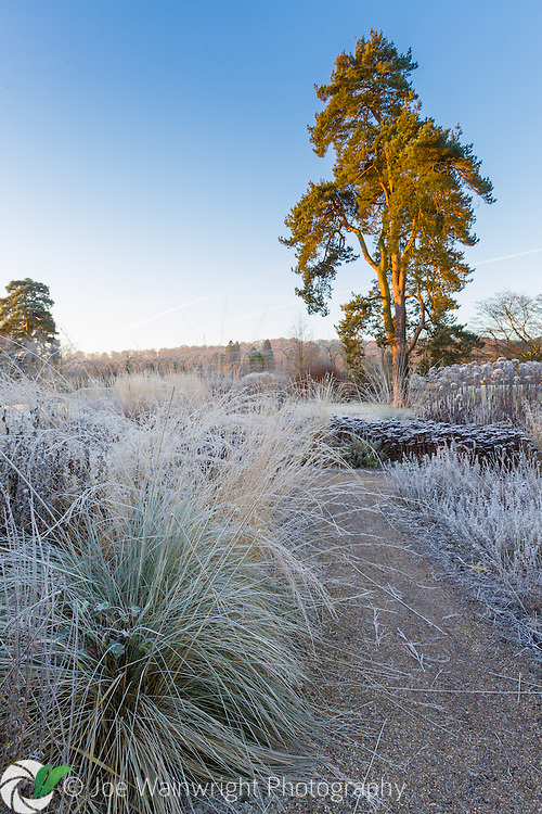 Frosted seed heads in the Floral Labyrinth at Trentham Gardens, Staffordshire - photographed in January