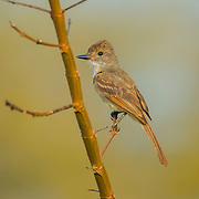 Nutting's Flycatcher <br /> Myiarchus nuttingi inquietus<br /> El Tuito, Jalisco, Mexico<br /> 14 June     Adult      Tyrannidae