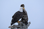 Bald Eagle, Haliaeetus leucocephalus, mature and immature, sitting in snow storm, Kenai Peninsula, Homer Spit, Homer, Alaska. Digital original, #2006_0404 ©Robin Brandt